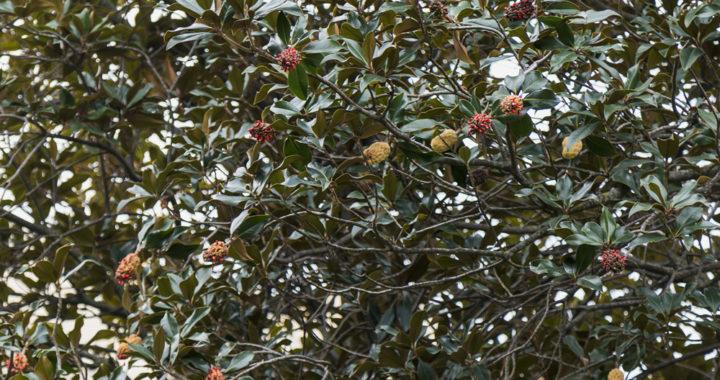 Séptima ruta botánica en Santa Eugenia, cada vez más concurrida