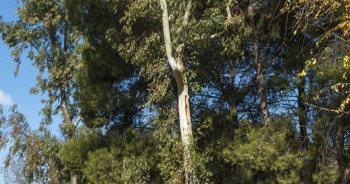 Los eucaliptos